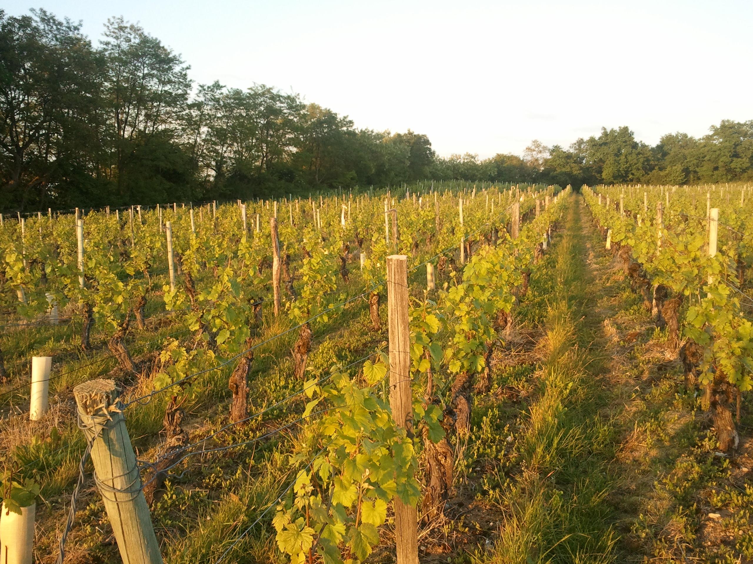 vignes-de-chardonnay-2013-06-05-20.59.191